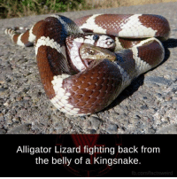 Memes, Alligator, and fb.com: Alligator Lizard fighting back from  the belly of a Kingsnake.  fb.com/factsweird