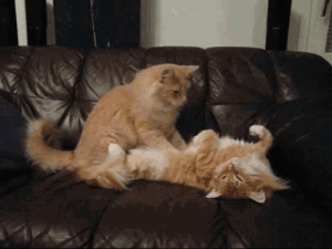 """Animals, Cats, and Massage: alliscraziness:  kittenmod:  pettyartist:  unimpressedcats:  Kitty massage  Fun fact! This action is called """"snurgling"""". It's a kitten's way of stimulating mommy to make milk… some cats never stop doing it and will even snurgle things like fleecy blankets or stuffed animals or your leg/tummy  Snurgle is the dorkiest and cutest word in the world Oh my gosh  snurglesnurglesnurglesnurglesnurglesnurglesnurglesnurglesnurglesnurglesnurglesnurglesnurgle"""