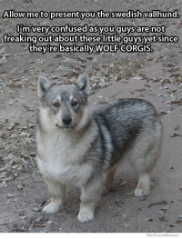 Confused, Wolf, and Swedish: Allow me to present you the swedish vallhund.  I'm very confused asyou guys are not  freakingoutaboutthesellittle quys yet since  they're basically WOLF CORGIS.  WeKnowMemes