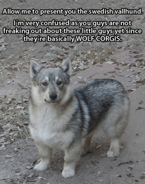 the-jackals:  anythingoes29:  I DESIRE SEVERAL OF THESETHEY WILL BE MY WOLF PACKMY TINY CORGI-ESQUE WOLF PACK  i was honestly confused at first because i only saw the head and i was like daw what a cute goofy puppy and then i scrollED DOWN AND IT HAS STUMPY NIBLET LEGS: Allow me to present you the swedish vallhund.  l'm very confused as you guys are not  freaking out about these little guys yet since  they're basically WOLF CORGIS. the-jackals:  anythingoes29:  I DESIRE SEVERAL OF THESETHEY WILL BE MY WOLF PACKMY TINY CORGI-ESQUE WOLF PACK  i was honestly confused at first because i only saw the head and i was like daw what a cute goofy puppy and then i scrollED DOWN AND IT HAS STUMPY NIBLET LEGS