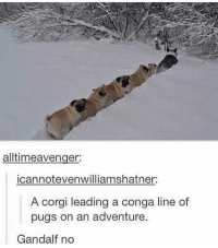 GANDALF Y E S - Max textpost textposts: alltimeavenger:  icannotevenwilliamshatner:  A corgi leading a conga line of  pugs on an adventure.  Gandalf no GANDALF Y E S - Max textpost textposts