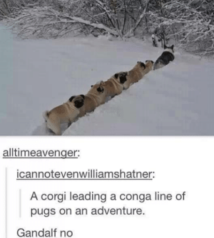 Gandalf yes: alltimeavenger:  icannotevenwilliamshatner:  A corgi leading a conga line of  pugs on an adventure.  Gandalf no Gandalf yes