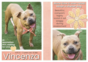 """Alive, Being Alone, and Animals: Alone time is over-rated.  Adopt a shelter dog.  Beautiful,  compact  highly  social & tail  waggy  during  assessment  At  Manhattan  ACC waiting  for Love  63573 3 years old, 43 lbs  Vincenza TO BE KILLED - June 11, 2019  """"I WILL TAKE MY LAST STEPS SOON IF NO ONE WILL GIVE ME A LOVING HOME"""" :'( People who surrender their pets to shelters seem to think life is sweet and that abandoned pet will find a happy new home but that's not always the case. A lot of highly adoptable dogs never make it out alive and we don't want Vincenza to be one of those statistics. She's a beautiful three year old girl with a winning smile and an endearing head tilt. Upon arrival, Vincenza was terrified, and who or what wouldn't be in a strange and scary place? Dogs are resilient though. We all know that. And Vincenza is warming up and making friends but she needs something more consistent - a kind and caring new owner and a safe and secure home - before it's too late. Vincenza is out of time at the Manhattan shelter and badly in need of lots of attention and shares. Please help us get her story out there so she can find her happy ever after before it's too late.   VINCENZA@MANHATTAN ACC Hello, my name is Vincenza My animal id is #63573 I am a female brown dog at the  Manhattan Animal Care Center The shelter thinks I am about 3 years old, 43 lbs Came into shelter as a agency May 21, 2019  Vincenza is at risk for medical reasons. Vincenza was diagnosed with canine infectious respiratory disease complex which is contagious to other animals and will require in home care. Behaviorally, Vincenza has been a bit fearful and would benefit from reward based training.  My medical notes are... Weight: 43.6 lbs Vet Notes L V T Notes 27/05/2019 [DVM Intake] DVM Intake Exam  Estimated age: 2 yrs - upon anesthesia please reevaluate for age Microchip noted on Intake? no Microchip Number (If Applicable): no  History : Stray  Subjective: QAR, euhydrated  Observed Behavior - """