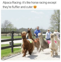 Funny, Horse, and Alpaca: Alpaca Racing: it's like horse racing except  they're fluffier and cuter Anyone wanna start an alpaca farm with me and raise champion alpacas and make tons of loot? Sounds ideal (@nbcsports)