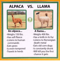 Dogs, Drunk, and Death: ALPACA VS. LLAMA  0  An alpaca...  -Weighs 150 lbs.  Has soft fleece  -Listens to human  commands  -Eats grass  -Is even-tempered  Travels in herds  A llama...  Weighs 400 lbs.  -Has a knife in its fur  -Listens to Norwegian  death metal  -Eats old corn dogs  -Is constantly drunk  Will kill you the first  chance it gets I wish I could have known this sooner