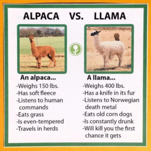 Dogs, Drunk, and Death: ALPACA VS. LLAMA  A llama...  An alpaca...  -Weighs 150 lbs.  -Has soft fleece  -Listens to human  Weighs 400 lbs.  -Has a knife in its fur  -Listens to Norwegian  death metal  commands  -Eats old corn dogs  -Is constantly drunk  Will kill you the first  chance it gets  -Eats gras:s  -Is even-tempered  -Travels in her