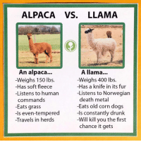 Let's make it clear for ALPACAS & LLAMAS: ALPACA VS. LLAMA  A llama...  Weighs 400 lbs.  -Has a knife in its fur  -Listens to Norwegian  death metal  -Eats old corn dogs  -Is constantly drunk  Will kill you the first  chance it gets  An alpaca...  -Weighs 150 lbs.  -Has soft fleece  -Listens to human  commands  -Eats grass  -Is even-tempered  -Travels in her Let's make it clear for ALPACAS & LLAMAS
