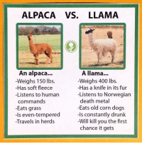 funny llama: ALPACA VS. LLAMA  A llama...  Weighs 400 lbs.  -Has a knife in its fur  -Listens to Norwegian  death metal  -Eats old corn dogs  -Is constantly drunk  Will kill you the first  chance it gets  An alpaca...  -Weighs 150 lbs.  -Has soft fleece  -Listens to human  commands  -Eats grass  -Is even-tempered  Travels in herds