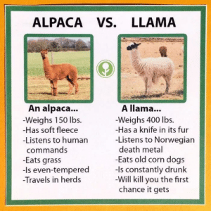 Be careful out there: ALPACA VS. LLAMA  A llama...  Weighs 400 lbs.  -Has a knife in its fur  -Listens to Norwegian  death metal  -Eats old corn dogs  -Is constantly drunk  Will kill you the first  chance it gets  An alpaca...  Weighs 150 lbs.  -Has soft fleece  -Listens to human  commands  -Eats grass  -Is even-tempered  -Travels in her Be careful out there