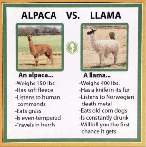 The difference between alpacas and llamas: ALPACA VS. LLAMA  An alpaca...  A llama...  -Weighs 150 lbs  -Has soft fleece  -Weighs 400 lbs.  -Has a knife in its fur  -Listens to Norwegian  death metal  -Eats old corn dogs  -ls constantly drunk  -Will kill you the first  chance it gets  -Listens to human  commands  -Eats grass  -Is even-tempered  Travels in herds The difference between alpacas and llamas