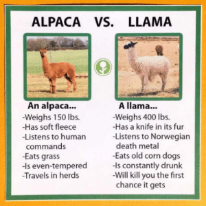 Emperors new groove just turned metal: ALPACA VS. LLAMA  An alpaca..  -Weighs 150 lbs.  -Has soft fleece  -Listens to humarn  A llama...  -Weighs 400 lbs.  -Has a knife in its fur  -Listens to Norwegian  death metal  -Eats old corn dogs  commands  -Eats grass  -Is even-tempered ls constantly drunk  Travels in herds  -Will kill you the first  chance it gets Emperors new groove just turned metal