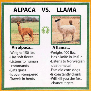 Dogs, Drunk, and Memes: ALPACA VS. LLAMA  An alpaca...  -Weighs 150 lbs.  -Has soft fleece  Listens to humarn  commands  -Eats grass  -Is even-tempered  Travels in herds  A llama...  -Weighs 400 lbs.  -Has a knife in its fur  -Listens to Norwegian  death metal  Eats old corn dogs  -Is constantly drunk  -Will kill you the first  chance it gets helpful @obviousplant