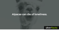 https://www.buzzfeed.com/mariahoxley/completely-true-animal-facts-thatll-make-you-say-that-seems?utm_term=.vpXMlx6yB#.ydAR5WDO6: Alpacas can die of loneliness.  uber  facts https://www.buzzfeed.com/mariahoxley/completely-true-animal-facts-thatll-make-you-say-that-seems?utm_term=.vpXMlx6yB#.ydAR5WDO6