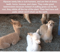 Butt, Earth, and Free: Alpacas rarely bite or butt humans, and are free of sharp  teeth, horns, hooves, and claws. They make great  lawnmowers because instead of pulling grass out by the  root, they nibble off the top of the plant. Their feet have soft  ads, which won't churn up the earth https://t.co/XM9BluoH0n