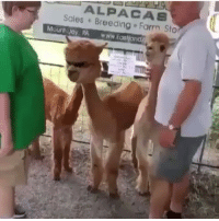 Remember that girl from vine? This is her now. Feel old yet? (SOUND ON!): ALPACAS  Sales Breeding Farm Sto  Mount Joy, PA www.Eas Remember that girl from vine? This is her now. Feel old yet? (SOUND ON!)