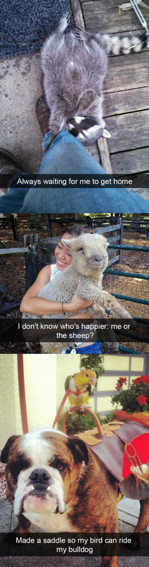 animalsnaps:Animal snaps: Alway  s waiting for me to get home   I don't know who's happier: me or  the sheep?   Made a saddle so my bird can ride  my bulldog animalsnaps:Animal snaps