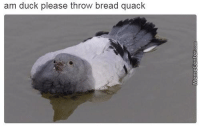 Totally not a pigeon.: am duck please throw bread quack Totally not a pigeon.
