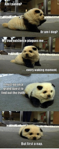 True, Panda, and Quest: Am I panda?  Or am I dog?  y true existence plagues me..  .. every waking moment.  mustgo on a  grand quest to  find out the truth!  But first a nap.