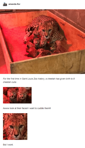 Want To Cuddle: amanda-fior  For the first time in Saint Louis Zoo history, a cheetah has given birth to 8  cheetah cubs  Awww look at their faces! I want to cuddle them!!  But I wont