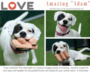 """Being Alone, Apparently, and Best Friend: Amazing """"Adam  LOVE  ld 64568, 8 Mos, 33 lbs. Neutered, Manhatan ACC  """"Holy cuteness! This little gent is a serious snuggly bunny in training. Adamis a sight for  sore eyes and despite his very petite frame will easily fill your whole heart."""" A Volunteer TO BE KILLED 6/20/19  <3 He's taken the Manhattan Center by storm and swept all smitten hearts in his wake. Don't miss our on the sweetest 8 Mos old puppy in the world. Meet Adam!  A volunteer writes: """"Holy cuteness! Looking for a party in a pup? Then look no further than pint-sized pup Adam! This downy-soft, snowy-white cutie couldn't be more gorgeous if he tried. Those teeny toes, those spotted ears, that silly smile, oh my! Adam is a sight for sore eyes and despite his very petite frame will easily fill your whole heart. Being such a young lad Adam of course has a penchant for toys so you'll want to bring plenty when you meet our goofy boy. But don't rule out Adam's gentle side. This little gent is a serious snuggly bunny in training, curling up in my lap once all the play was done. Pool, birthday, Democrat, Republican - whatever your party you'll want our Adam there! Come get the party started and come meet our Adam today. Adam is waiting in adoptions at Manhattan ACC."""" Don't miss out on fostering or adopting the greatest dog to come down the pike in a long, long while. Message our page or email us at MustLoveDogsNYC@gmail.com for assistance making Adam your new best friend.  A Staff Member Notes:  STAFF NOTE: Adam is a young, cow-spotted pup who loves people (and toys!). His major challenge is his fearfulness of other dogs. This handsome boy would benefit from some TLC when it comes to his dog to dog challenges but won't disappoint when it comes to human play and snuggle time!  MY MOVIE: Adam is a ton of fun in a tiny package! https://youtu.be/GQibqpY2bRk  ADAM, ID# 64568, 8 mos old, 33.4 lbs, Neutered Male Manhattan ACC, Medium Mixed Breed, White / Black  Owner Surrend"""