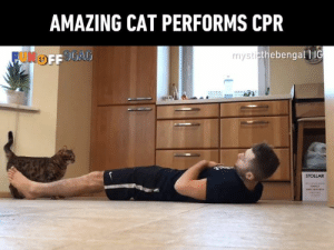 A for effort, kitty!  Congrats to MysticTheBengal   IG on becoming #9GAGFunOff week 15 winner!: AMAZING CAT PERFORMS CPR  thebengall IG  STOLLAR A for effort, kitty!  Congrats to MysticTheBengal   IG on becoming #9GAGFunOff week 15 winner!