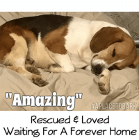 "Memes, aol.com, and Email: Amazing  HAPLACETOBARK  Rescued Loved  Waiting For A Forever Home Good Night Sweet Boy💕 ""Amazing"" is a special needs dog. His spinal cord was severely damaged when we rescued him from animal control. He has been in our program for over a year. In that time, he has made incredible strides in recovery, from not being able to use his back legs at all & just carrying them high, to now walking & running on all fours.  He is vocal as most Beagles are. He is incontinent, due to his spinal injuries.   Meaning he cannot control his bodily functions & needs to wear a diaper & be cleaned several times daily.  Caring for him is a labor of love & daily work.  He is a very affectionate dog & truly a walking miracle. My hope is someone will love & care for him, all the days of his life.   He's an inspirational dog & loyal friend! Please *SHARE* & let's find ""Amazing"" a Loving Home💕 Email us at: aplace2bark@aol.com to adopt  #everylifematters #aplacetobark #specialneedsdog #beagle #sweetdreams #lovewins"
