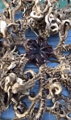 ambient-heart:  hunter-sundown:  scientificphilosopher: This Lovecraftian monstrosity may look like an amalgam of dying octopuses, but it's actually a single creature called a Basket Star, a type of deep sea brittle star. They can reach up to 11 pounds in weight and 70 cm in length! WHAT THE FUCK   Please keep this away from me at all costs : ambient-heart:  hunter-sundown:  scientificphilosopher: This Lovecraftian monstrosity may look like an amalgam of dying octopuses, but it's actually a single creature called a Basket Star, a type of deep sea brittle star. They can reach up to 11 pounds in weight and 70 cm in length! WHAT THE FUCK   Please keep this away from me at all costs