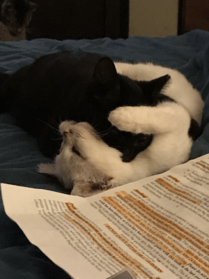 When you're tired but still want to play...yes they fell asleep like this, yes the black one (Berlioz) is still biting the white one (Marie). Sorry for the papers in the way!: ame dislod  Restrict  Plaze Ar paks to th  Ar an cysnatin.  dings A corairmof bleing  in the seaAY u on he  S r shis ting, the  y, ar n nfar-/bleedin  and squeeze our . The amic and in the tea bag he  mimimine frther hiadi do nor bemmerciad ant avoid  frther instructAs  Srelling The suplligr thar is pormally expected is usualy proportio  Tund the mouth, checks, eves andsids of the face is not uncommoVz. Th  g Snelling may be mini by the imtmediate use of ce packs 1  n the oy folloning suyve, and nall not reac S EmONimum Htil  moin Allrhe founh dạy the swpling gratuly subosides Two plastic bags fille  sugary was performed Apply the ice bags  shrlt he apprlied ao the sides of the far wbere  Aus(20mins arVmis af) Alter.VACKAY Nhould not be used After 24 hours, moist  47mid the sides af the fce o cntimueto belp roduce the size of the swelling Please do not  toth has been inferted, or if von have bad discomfort (pain) with this tooth in the last con  sueting or jaw stiflioo has persisted for several days, there is no cause for alam. This is a  Thityir hur folling suer the apyplication of moist haat to the sides of th  mdai he siiof the sweg  counter a e e Ail or ihuprofin M00 hve hit W/p  office. Fir daimtin av Ahilor lNupraintear iee  around  please cont prr midipsian pur ps à may sepanie atend When you're tired but still want to play...yes they fell asleep like this, yes the black one (Berlioz) is still biting the white one (Marie). Sorry for the papers in the way!