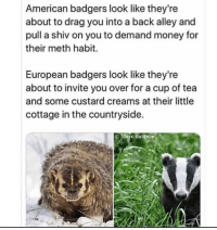 American badgers deserve love as well :(: American badgers look like they're  about to drag you into a back alley and  pull a shiv on you to demand money for  their meth habit.  European badgers look like they're  about to invite you over for a cup of tea  and some custard creams at their little  cottage in the countryside.  O Marc Baldwin American badgers deserve love as well :(