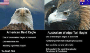 freedom: American Bald Eagle  One of the smallest Eagles in the world  Only eats little fish  Basically a glorified seagull  Australian Wedge Tail Eagle  One of the largest Eagles in the world  Hunts large mammals indluding Kangaroos  Can see infra red and ultraviolet  Only eagle in the world that attacks  VIA 9GAG.COM  Parachutes & Paragliders freedom