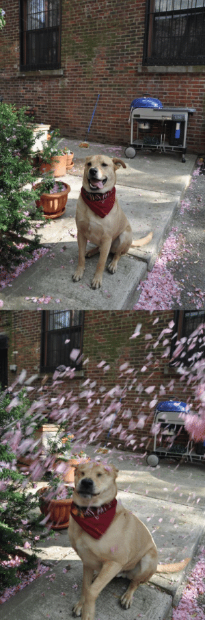 amipunkyet: WE TRIED TO TAKE SOME PICS OF GEORGE WITH CHERRY BLOSSOMS FALLING IN THE AIR BUT WHEN THEY FELL HE MADE THIS FACE : amipunkyet: WE TRIED TO TAKE SOME PICS OF GEORGE WITH CHERRY BLOSSOMS FALLING IN THE AIR BUT WHEN THEY FELL HE MADE THIS FACE