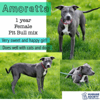 Cats, Dogs, and Memes: Amoretta  1 year  Female  Pit Bull mix  Very sweet and happy girl  Does well with cats and dogs  HUMANE  SOCIETY  eMIDLAND COUNTY All dogs/puppies in our shelter can be viewed here.  Any dog not being held as a stray is available for immediate, same-day adoption! Adoption applications are reviewed on site. Please share our dogs and help get them out of the shelter as quickly as possible!  **PLEASE NOTE**  Placing an application on a dog featured in this album does NOT hold the dog for you.  All available dogs are available to be met and adopted same day if already altered.  If not altered, the dog can be met and paid for in order to hold the dog for you.  Thank you for your understanding!