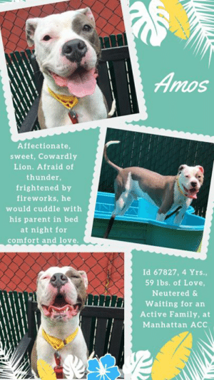 "7/11, Being Alone, and Apparently: Amos  Affectionate,  sweet, Cowardly  Lion. Afraid of  thunder,  frightened by  fireworks, he  would cuddle with  his parent in bed  at night for  comfort and love.  Id 67827, 4 Yrs.,  59 lbs. of Love,  Neutered &  Waiting for an  Active Family, at  Manhattan ACC TO BE KILLED – 7/11/2019  He's afraid of thunder and fireworks, and he cuddles in bed with his parent at night, to feel comforted and safe.  AMOS is more ""Cowardly Lion"" than the swashbuckling heroes of legend, but he makes up for it with how incredibly affectionate and loving he is.  All he ever really needed was more exercise to run out some of his boundless energy, as well as some training on calming exercises like ""down stay"" or ""place"" so that he could learn to settle in place and redirect his anxiety (and excitement over people at the door) in a positive way.  Dogs like Amos are sweet, sensitive souls who adore their family and love people, but they also need structure, and a quiet, calm, environment where they will flourish.  We hear that Amos would lick the children he lived with, and even the dog who was his housemate!  Amos just needs a chance.  As a staff member writes: ""Hi there, I'm Amos! My friends at the shelter describe me as an active and enthusiastic boy. I love life's simple pleasures, like relaxing on park benches, rope toys, and chewing on bones! I can be easily frightened by loud noises, so I'd best be suited with an adult-only home that can take things slow and provide me with lots of activity! Stop by the Manhattan ACC and meet me today.""  So please do not overlook Amos if you are an experienced foster or adopter in an adult only home (no children under age 13)  He is a good boy.  MESSAGE our page or email us at MustLoveDogsNYC@gmail.com for assistance saving his life.     AMOS, ID# 67827, 4 Yrs. old, 59.6 lbs, Neutered Male Manhattan ACC, Large Mixed Breed, Gray / White Owner Surrender Reason:  Aggressive towards people Shelter Assessment Rating:  New Hope Rescue Only Medical Behavior Rating:   2.  Blue    INTAKE NOTES – DATE OF INTAKE, 7/1/2019:  During intake, Amos allowed petting, but randomly hard barked, not toward anyone in particular. His tail was wagging the whole time throughout the barking. Owner collared. Counselor was able to scan for micro chip. Amos did not eat a treat off the floor, but did eat it when owner handed it to him.  OWNER SURRENDER NOTES – BASIC INFORMATION:  Amos is a large neutered mixed breed dog.  He previously lived with 2 adults and 1 dog.  Amos approached new people in the home with a wagging tail but was not able to be loose if the other dog was loose due to a history of redirected aggression.  Amos was rehomed for a week with a family who had children and Amos was friendly with the children and licked them. With the other dog in the home, Amos has lunged and bitten him with no warning. He also sleeps in the same area as him and will drink from the same water bowl and lick him. If there is some sort of stimulation around, like someone at the door, Amos becomes reactive. There was an incident where there was a popsicle stick on the table that both dogs in the home went for and Amos bit the other dog. Owner can take a toy/treat away from Amos with no issue. He also shows no guarding with food if his owner approaches. When being walked outside, Amos is not bothered by other dogs he passes, but owner keeps him on a tight leash and doesn't allow him to approach.  Amos has never been around a cat, so his behavior is unknown.  Amos has bitten one of the owners when she was laying in bed watching tv and the fireworks were going on.  He lunged and bit without any clear warning signs but did not break skin.  He is housetrained and has a high energy level.   Other Notes: Doesn't destroy any items in the home. Is fine being left alone all day. Doesn't bark if he is alone. Amos goes into the yard on the leash to go to the bathroom. He never has accidents in the home. He is quick to use the bathroom once he gets outside. He is walked daily and pulls on his leash. He is let off leash inside the dog park when no other dogs are present. When off leash in an open yard, Amos comes back when called. If Amos is home alone and owners return with resident dog, Amos does not react aggressively. But if one owner is home and the other dog is home, then the resident dog needs to be separated, Amos is reactive toward the other dog. Due to this, owners separate them in this situation. Loud noises like thunder, fireworks, loud trucks, etc are triggers for Amos. He also seems to get reactive with any type of stimulation. Walking him seems to calm him down.  Amos has never had a medical issue.   For a New Family to Know: Amos is described as loving. He greets owners when they arrive home with a very loose and wiggly body. Amos follows owner everywhere in the home, occasionally lying down if owner is busy. Amos loves hard bones filled with soft treats. He also loves to play with a rope toy and shakes it around. Amos barks all throughout car rides and stands the whole time appearing unsettled. Amos sleeps in bed with owners. Owner has no trouble bathing, cleaning his ears, or trimming his nails. He also doesn't mind having his teeth checked. Amos loves to eat leaves and sit on park benches. He loves to eat fruits and vegetables. He is regularly fed dry food 3 times a day. Amos knows the commands sit, come, do you wanna go out? do you wanna eat?  SHELTER ASSESSMENT SUMMARIES – Date of Assessment: 7/3/2019 Leash Walking  Strength and pulling: None  Reactivity to humans: None  Reactivity to dogs: None  Leash walking comments: None   Sociability  Loose in room (15-20 seconds): Highly Social  Call over: Approaches readily  Sociability comments: body soft   Handling  Soft handling: Accepts contact  Exuberant handling: Accepts contact  Handling comments: Body soft   Arousal  Jog: Engages in play (exuberant)  Arousal comments: Jumps up, grabs leash in mouth   Knock: Approaches (loose)  Knock Comments: None   Toy: No response  Toy comments: None  Summary (1):: On hot summer days, Amos loves to cool off by playing with the hose and chasing the water.  INTAKE BEHAVIOR - Date of intake:: 7/1/2019 Summary:: tail wagging, allowed petting, randomly hard barked  MEDICAL BEHAVIOR - Date of initial:: 7/2/2019 Summary:: initially loose body, then became tense, jumping and head swinging to retreat.  ENERGY LEVEL: Amos is described as active and enthusiastic. He will need daily mental and physical activity to keep him engaged and exercised. We recommend long-lasting chews, food puzzles, and hide-and-seek games, in additional to physical exercise, to positively direct his energy and enthusiasm. We recommend feeding with puzzle feeders and food-dispensing toys. And we recommend only force-free, reward-based training techniques for Amos.   IN SHELTER OBSERVATIONS: 7/7/19: Upon approach, Amos has a loose body and wagging tail. When coming out of the kennel, he starts to react to the dogs next to him by trying to pull hard towards them. While out in the yard on leash, he mostly wanders and keeps to himself. 7/8/19: When coming out of the kennel, Amos pulls toward dogs in the neighboring kennels. While out in the yard on leash, he wanders and seeks attention by jumping up on bench and sitting next to handler for pets. Amos has no issues returning to the kennel.  BEHAVIOR DETERMINATION:: New Hope Only Behavior Asilomar: TM - Treatable-Manageable  Recommendations:: No children (under 13),Place with a New Hope partner  Recommendations comments:: No children: Due to his multiple bite history, we strongly recommend an adult-only home for Amos. Place with a New Hope partner: Amos's bite history is significant. Though the bites have not typically caused serious injury, they indicate a high level of stress for Amos when he is in these situation that escalate to biting. This will require careful environmental management and likely significant lifestyle adaptations to prevent injury to his future humans and to increase Amos's quality of life. We highly recommend consultation with a veterinary behaviorist and/or highly qualified behavior modification trainer.   Potential challenges: : Resource guarding,Fearful/potential for defensive aggression,Multiple-bite history/risk of future aggression,Bite history (human),Bite history (dog)  Potential challenges comments:: Resource guarding: The previous owners reported that Amos bit the other dog in the home when they both went for the same popiscle stick. This suggests that Amos will guard food and toy items, especially when around other dogs. Please see handout on Resource guarding. Fearful/potential for defensive aggression: The owners report that Amos becomes reactive around loud noises such as fireworks, loud trucks, and thunder storms. According to the bite report, there were fireworks going off when he lunged and bit the owner in the home without clear warning signs. This shows that Amos may redirect to biting people around him when he is feeling scared and uncomfortable. Please see handout on Fearful/potential for defensive aggression. Multiple-bite history/risk of future aggression: Amos has bitten on three occasions. First, he bit the owner while she was laying in bed watching tv and fireworks were going on. He lunged at her and bit without any clear warning signs but did not break skin. Second, he bit the other dog in home when they both went for the same popsicle stick. Third, he bit the other dog in the home when they both went to greet someone at the door. The severity of these bites to the dog are unknown. Please see handout on Bite History.   MEDICAL NOTES  7/2/2019  (vet notes) DVM Intake Exam Estimated age: ~4yrs based on PE. Microchip noted on Intake? scanned positive. History : O surrender due to P biting another dog and the home and P being aggressive to the family members. Subjective / Observed Behavior - BAR, loose body when not being handled. Then tail stopped wagging and P begin jumping and head swinging to get away from DVM. Muzzled for exam Evidence of Cruelty seen - none Evidence of Trauma seen - none Objective BCS 5/9 EENT: Eyes clear, ears clean, no nasal or ocular discharge noted Oral Exam: did not evaluate due to muzzle being in place PLN: No enlargements noted H/L: No murmur ausculted; CRT < 2, Lungs clear, eupnic ABD: Non painful, no masses palpated U/G: neutered male. MSI: Ambulatory x 4, skin free of parasites, no masses noted, healthy hair coat CNS: Mentation appropriate - no signs of neurologic abnormalities Rectal: externally normal. Assessment apparently healthy Prognosis: excellent Plan: observe DOH hold SURGERY: neutered   LVT Notes  7/2/2019 Microchip Scan: Positive Evidence of Cruelty: No Observed Behavior: Blue, tense and nervous Sex: Neutered male Estimated Age: 4 yrs. Subjective: O/S Eyes: both eyes are clean and clear Ears: both ears are clean and clear Oral Exam: mild tartar Heart: normal rhythm and rate Lungs: normal rhythm and rate Abdomen: palpated, no masses seen, not extended Musculoskeletal: ambulatory Mentation: BARH BCS : 5/9 Preliminary Assessment:Apparently healthy Plan: need DVM exam and RV NOSF   *** TO FOSTER OR ADOPT ***  AMOS IS RESCUE ONLY. You must fill out applications with New Hope Rescues to foster or adopt him. He cannot be reserved online at the ACC ARL, nor can he be direct adopted at the shelter. PLEASE HURRY AND MESSAGE OUR PAGE FOR ASSISTANCE!   HOW TO RESERVE A ""TO BE KILLED"" DOG ONLINE (only for those who can get to the shelter IN PERSON to complete the adoption process, and only for the dogs on the list NOT marked New Hope Rescue Only). Follow our Step by Step directions below!   *PLEASE NOTE – YOU MUST USE A PC OR TABLET – PHONE RESERVES WILL NOT WORK! **   STEP 1: CLICK ON THIS RESERVE LINK: https://newhope.shelterbuddy.com/Animal/List  Step 2: Go to the red menu button on the top right corner, click register and fill in your info.   Step 3: Go to your email and verify account  \ Step 4: Go back to the website, click the menu button and view available dogs   Step 5: Scroll to the animal you are interested and click reserve   STEP 6 ( MOST IMPORTANT STEP ): GO TO THE MENU AGAIN AND VIEW YOUR CART. THE ANIMAL SHOULD NOW BE IN YOUR CART!  Step 7: Fill in your credit card info and complete transaction   HOW TO FOSTER OR ADOPT IF YOU *CANNOT* GET TO THE SHELTER IN PERSON, OR IF THE DOG IS NEW HOPE RESCUE ONLY!   You must live within 3 – 4 hours of NY, NJ, PA, CT, RI, DE, MD, MA, NH, VT, ME or Norther VA.   Please PM our page for assistance. You will need to fill out applications with a New Hope Rescue Partner to foster or adopt a dog on the To Be Killed list, including those labelled Rescue Only. Hurry please, time is short, and the Rescues need time to process the applications.  Shelter contact information Phone number (212) 788-4000  Email adoption@nycacc.org  Shelter Addresses: Brooklyn Shelter: 2336 Linden Boulevard Brooklyn, NY 11208 Manhattan Shelter: 326 East 110 St. New York, NY 10029 Staten Island Shelter: 3139 Veterans Road West Staten Island, NY 10309    *** NEW NYC ACC RATING SYSTEM ***  Level 1 Dogs with Level 1 determinations are suitable for the majority of homes. These dogs are not displaying concerning behaviors in shelter, and the owner surrender profile (where available) is positive.   Level 2  Dogs with Level 2 determinations will be suitable for adopters with some previous dog experience. They will have displayed behavior in the shelter (or have owner reported behavior) that requires some training, or is simply not suitable for an adopter with minimal experience.    Level 3 Dogs with Level 3 determinations will need to go to homes with experienced adopters, and the ACC strongly suggest that the adopter have prior experience with the challenges described and/or an understanding of the challenge and how to manage it safely in a home environment."