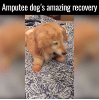 Dank, Taken, and 🤖: Amputee dog's amazing recovery After being left for dead by a dog meat factory, she was taken in and underwent a quadruple amputation to save her life 🙌  via Caters News Agency