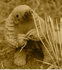 Memes, 🤖, and Species: An 11-month-old baby pangolin in Namibia. Not much is known about the shy, endangered species.