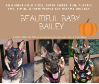 "Being Alone, Beautiful, and Cats: AN 8 MONTH OLD PIXIE, SUPER SWEET, FUN, PLAYFUL.  SHY, TIMID, W/NEW PEOPLE BUT WARMS QUICKLY  BEAUTIFUL BABY  BAILEY  Id 42585, 8 Mos. Old, 31 lbs. of love, Dreaming of a calm, quiet home, at Staten Island TO BE KILLED - 10/17/2018  Before you read another word, watch Bailey's video. This sweet girl was in the WRONG household with people who clearly didn't have experience with her breed.. Bailey is a sweet, affectionate, loving puppy who yes, is initially shy with new people, but warms quickly! https://www.youtube.com/watch?v=JbSFUstjoGI   BAILEY needs an experienced adult only family who can provide her the calm, quiet, structured home she needs to blossom. She needs a routine she can count on, people who are sensitive to her sweet, gentle, timid spirit, and who will speak to her with kindness and softness. She wants so much to be loved, to be cuddled and it shines through in her video ….she runs from one volunteer to the other, so happy to be loved, so happy to be treated with gentleness and care. We adore this little girl, so petite she is like a wisp of a thing, but who has a heart that beats with love for humans. There is nothing wrong with Bailey other than that she is shy. There will be no bigger travesty than if this little girl loses her life simply because she didn't have the experienced adult only home where she can decompress and find her rhythm. If you are that family, hurry and PRIVATE MESSAGE our page or email us at MustLoveDogsNYC@gmail.com for assistance. She is rescue only, and you need to fill out applications with New Hope Partners to save her life.  Bailey Young and Fun: https://www.youtube.com/watch?v=JbSFUstjoGI   BAILEY, ID# 42585, @ 8 Mos., 31 lbs. Staten Island ACC, Medium Mixed Breed, Black / Tan, Unaltered Female Owner Surrender Reason: Animal Behavior - unsocial  Shelter Assessment Rating: New Hope Rescue Only Intake Behavior Rating: 2. Blue  AT RISK MEMO: Bailey is at risk for behavioral concerns. She has a bite history and has shown some fearful/anxious behaviors in the Care Center. Bailey is available to our New Hope partners only due to the behaviors exhibited. There are no known medical concerns with Bailey at this time.  INTAKE NOTE – DATE OF INTAKE, 9/26/2018: Bailey was tense and timid. She was looking around anxiously and gave the whale eye. She growled when too close to her. Bailey appeared to be fearful and unsure of everyone and the surroundings. She was shaking periodically. It was asked of the previous owner to place Bailey in the kennel due to the high level of stress she was experiencing.  OWNER SURRENDER NOTES – BASIC INFORMATION: Bailey is an 8 month old female large breed mix that has no past or current medical issues that the previous owner is aware of. Previous owner received the dog from a friend but can longer have her due to having bit her and her granddaughter. She previously lived with 1 adult and 1 child. Around strangers, Bailey is fearful and timid. Bailey lived with a child and was tolerant but fearful. Bailey previous lived with another large breed dog and they would bark, growl, and snap at each other. They would have to be separated. Bailey has never been exposed to cats so behavior around them is unknown. Previous owners stated that Bailey urinates and defecates indoors. She destroys stuff indoors and is anxious when left alone. Bailey isn't bothered with her food is touched or taken. Bailey had bitten the owner and had bitten her granddaughter; the Owner grabbed Bailey by the collar to put her into her crate when Bailey turned around and bit her on the finger, tearing skin. Bailey is also reported to have bitten the granddaughter during similar incident of Bailey being placed in crate. Bailey bit granddaughter on the leg, but did not break skin. She is not housetrained and has a medium activity level. She had never had any medical issues.  For a New Family to Know: Bailey is described as fearful and anxious. Bailey likes to play with balls & chew toys and she likes to play tug. Bailey was kept mostly indoors and was fed dry dog food. According to previous owner, Bailey is not house-trained and would have accidents daily. Bailey usually goes to the bathroom indoors on wee-wee pads. When left alone in the home, Bailey would destroys household items & furniture/walls. Bailey has been crated but doesn't do well. Bailey knows commands the command ""sit"". For exercise, she enjoyed slow walks with the previous owner. On the leash, Bailey can pull lightly and when she would be off the leash, she would remain by previous owner's side.  SHELTER ASSESSMENT – DATE OF ASSESSMENT, 10/11/2018  Look:: 2. Dog pulls out of Assessor's hands each time without settling during three repetitions.  Sensitivity:: 1. Dog stands still and accepts the touch, eyes are averted, and tail is in neutral position with a relaxed body posture. Dog's mouth is likely closed for at least a portion of the assessment item.  Tag:: 3. Dog responds with tail high, ears forward, mouth likely closed for at least half of the assessment item, body stiff and body checks the Assessor. Dog is often focused on other stimuli in the room.  Paw squeeze 1:: 2. Dog quickly pulls back.  Paw squeeze 2:: 4. Dog will not allow the Assessor to assess a second time.  Toy:: 2. Dog takes toy away, keeps a firm hold. His/her body is between you and the toy, and is loose and wiggly. No growling or stiffness.  Summary:: Bailey allowed minimal handling for safer. Bailey appeared uncomfortable with face being cupped, quickly whipping head out of assessor's hands. Bailey leaned in for sensitivity while being hyper alert to noises around her. Bailey was fearful for tag, flipping head up quickly and staring hard at assessor each time she was touched. Bailey pulled her paw out quickly and wouldn't allow me to touch her paw a second time. She showed no fear or aggression with toy and allowed toy to be taken away from her. Over all Bailey displays a lot of fear behaviors. Due to her prior bite history and behavior at the care center Bailey will need to be placed with a New Hope partner.  INTAKE BEHAVIOR - Date of intake:: 9/26/2018. Summary:: Tense, whale-eyed, growled upon approach  MEDICAL BEHAVIOR - Date of initial:: 10/26/2018. Summary:: nervous but friendly.  IN SHELTER OBSERVATIONS:: Staff have observed that though Bailey is fearful she eventually warms up to people.   BEHAVIOR DETERMINATION:: NEW HOPE ONLY Behavior Asilomar: TM - Treatable-Manageable  Recommendations:: No children (under 13),Place with a New Hope partner Recommendations comments:: No Children: Bailey appears to be easily startled and become uncomfortable with up close handling, for these reasons we advise against a home with children at this time. New Hope Only: Bailey is not thriving in the shelter environment. She has generally given clear and protracted warnings and has not escalated to threatening behavior, but we are concerned that extra pressure may elicit higher level warnings. We feel that placement with a New Hope partner who can provide any necessary behavior modification guidance in a stable home environment will best set Bailey up for success in a future adoptive home. We recommend only force-free, reward-based training methods as more aversive techniques will likely increase fear and increase the risk of aggression.  Potential challenges: : House soiling,Destructive behavior,Fearful/potential for defensive aggression,Multiple-bite history/risk of future aggression,Anxiety Potential challenges comments:: House Soiling: Bailey is reported to have frequent accidents in the house, and appears not to have been housetrained in the past. She will need guidance and consistency to learn to eliminate outside. We recommend crate training (the crate must be made positive and never used as a punishment), frequent walks, rewards for eliminating outside (treats, toys, games), consistent feeding schedule, and careful monitoring when inside. Accidents should never be punished as it can damage the human-dog relationship and is likely to make the problem worse. Destructive Behavior: Bailey was reported to have destroyed furniture in her previous home. It must be clarified that he was left alone for an extended period, likely with little environmental enrichment or stimulation, so we cannot be certain whether the behavior was due to boredom. But it is a good idea to provide Bailey with durable, long-lasting chews and other engaging toys when she is left alone, to avoid chewing of inappropriate items. Examples are Kongs and Nylabones Potential Fearful aggression: Bailey gives clear warnings when she is uncomfortable and does seem to choose to avoid or retreat when given the opportunity, but if prevented from moving away there is a potential to escalate to higher-level warning behaviors and possible fear-based aggression. It is important to move slowly with Bailey, to build positive associations (treats/toys/praise), and to allow Bailey to initiate interactions with new people. She should never be forced to greet or to interact if she is not comfortable and soliciting attention. Anxiety:- Bailey has shown some signs of potential anxiety in the care center, vocalizing (whining, barking) continually. We cannot be certain whether similar behavior will be seen in a future home environment. Bite history: Due to Bailey's bite history, we recommend a home without young children. She has shown restraint in the care center and has not demonstrated any warnings of aggression, but when highly aroused Bailey may show willingness to bite.   MEDICAL NOTES:  26/09/2018 [DVM Intake] DVM Intake Exam Estimated age: 8 months Microchip noted on Intake? no Microchip Number (If Applicable): History : owner surrender Subjective: healthy Observed Behavior - nervous but friendly Evidence of Cruelty seen - no Evidence of Trauma seen - no Objective T = P = R = BCS EENT: Eyes clear, ears clean, no nasal or ocular discharge noted Oral Exam: no tartar/gingivitis PLN: No enlargements noted H/L: NSR, NMA, CRT < 2, Lungs clear, eupnic ABD: Non painful, no masses palpated U/G: MSI: Ambulatory x 4, skin free of parasites, no masses noted, healthy hair coat CNS: Mentation appropriate - no signs of neurologic abnormalities Rectal: Assessment- healthy Prognosis: excellent Plan: pending DOH release SURGERY: Okay for surgery after DOH release   *** TO FOSTER OR ADOPT ***   BAILEY IS RESCUE ONLY. You must fill out applications with New Hope Rescues to foster or adopt her. She cannot be reserved online at the ACC ARL, nor can she be direct adopted at the shelter. PLEASE HURRY AND MESSAGE OUR PAGE FOR ASSISTANCE!   HOW TO RESERVE A ""TO BE KILLED"" DOG ONLINE (only for those who can get to the shelter IN PERSON to complete the adoption process, and only for the dogs on the list NOT marked New Hope Rescue Only). Follow our Step by Step directions below!   *PLEASE NOTE – YOU MUST USE A PC OR TABLET – PHONE RESERVES WILL NOT WORK! **   STEP 1: CLICK ON THIS RESERVE LINK: https://newhope.shelterbuddy.com/Animal/List  Step 2: Go to the red menu button on the top right corner, click register and fill in your info.   Step 3: Go to your email and verify account  \ Step 4: Go back to the website, click the menu button and view available dogs   Step 5: Scroll to the animal you are interested and click reserve   STEP 6 ( MOST IMPORTANT STEP ): GO TO THE MENU AGAIN AND VIEW YOUR CART. THE ANIMAL SHOULD NOW BE IN YOUR CART!  Step 7: Fill in your credit card info and complete transaction   HOW TO FOSTER OR ADOPT IF YOU *CANNOT* GET TO THE SHELTER IN PERSON, OR IF THE DOG IS NEW HOPE RESCUE ONLY!   You must live within 3 – 4 hours of NY, NJ, PA, CT, RI, DE, MD, MA, NH, VT, ME or Norther VA.   Please PM our page for assistance. You will need to fill out applications with a New Hope Rescue Partner to foster or adopt a dog on the To Be Killed list, including those labelled Rescue Only. Hurry please, time is short, and the Rescues need time to process the applications."