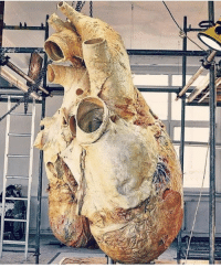 Friends, Memes, and Animal: An absolutely massive heart, submitted by our good friends over at @themedicalmentors! In fact, this heart isn't just massive - this is a heart from the largest animal on earth, The blue whale. It weighs approximately 199.6 Kilos (440 pounds)! The aorta of a blue whale's heart is so big that a human being could crawl through it. Although this heart is much bigger than the human heart, its functions through the same mechanisms, and the anatomy is very similar! science hearts bluewhales biology marinebiology medicine