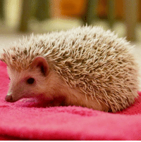 "Alive, Animals, and Memes: An African pygmy hedgehog was found abandoned at a London Underground station, raising concerns about a new craze of keeping the exotic animals as pets. The RSPCA says pygmy hedgehogs are a considerable commitment and would need a large temperature-controlled enclosure to mimic where they come from in the wild with space for digging, foraging and exercise. The hedgehog, now named Paddington, was rescued on 11 August by Jill Sanders, an animal collection officer. ""I was relieved that the little hedgehog was still alive as it was far too cold for him,"" she said. ""He was crammed into a tiny cage and must have been very disoriented and frightened."" It is unclear if the pet had been lost or purposefully left at the station. PHOTO: RSPCA-PA BBCSnapshot photography pigmy hedgehog pet RSPCA LondonUnderground Paddington"