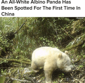 Tumblr, China, and Panda: An All-White Albino Panda Has  Been Spotted For The First Time In  China  @world awesomacious:  I see this as an absolute win