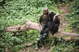 An anti-poaching ranger sitting with and comforting one of the young gorillas he protects after its mother died: An anti-poaching ranger sitting with and comforting one of the young gorillas he protects after its mother died