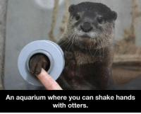 Otter Meme: An aquarium where you can shake hands  with otters.