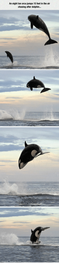 Tumblr, Blog, and Dolphin: An eight ton orca jumps 15 feet in the air  chasing after dolphin..  Biosphoto/ Christop srsfunny:The T-Rex Of The Ocean
