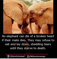 Memes, Death, and Elephant: An elephant can die of a broken heart  if their mate dies. They may refuse to  eat and lay down, shedding tears  until they starve to death.  団  /d.dyouknowpage1。@didyouknowpage