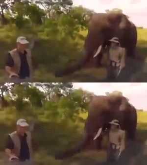 An elephant casually stealing and then returning a wildlife photographer's hat (Source): An elephant casually stealing and then returning a wildlife photographer's hat (Source)