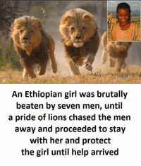 Girl, Help, and Lions: An Ethiopian girl was brutally  beaten by seven men, until  a pride of lions chased the men  away and proceeded to stay  with her and protect  the girl until help arrived