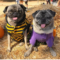 """""""Happy to see my friend Brandy at the pug meetup"""" -Ozzy #nationalpugday #lapugmeetup w/ Brandy The Pug: AN """"Happy to see my friend Brandy at the pug meetup"""" -Ozzy #nationalpugday #lapugmeetup w/ Brandy The Pug"""