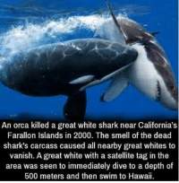 Smell, Yo, and Shark: An orca killed a great white shark near California's  Farallon Islands in 2000. The smell of the dead  shark's carcass caused all nearby great whites to  vanish. A great white with a satellite tag in the  area was seen to immediately dive to a depth of  500 meters and then swim to Hawaii 1000meter if yo mama farted