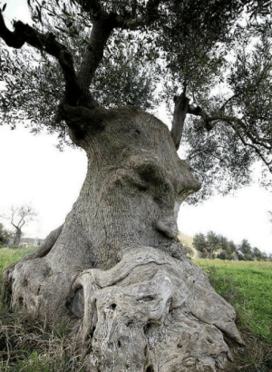 """ancientorigins:The """"Thinking Tree"""", an ancient olive tree in Puglia, Italy: ancientorigins:The """"Thinking Tree"""", an ancient olive tree in Puglia, Italy"""