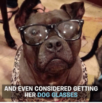 So dog contacts are a thing. pitbullfridays Follow Gremlin at Facebook.com-GremlinTheTherapyDog H-T Arin Greenwood-Today.com: AND EVEN CONSIDERED GETTING  HER DOG GLASSES So dog contacts are a thing. pitbullfridays Follow Gremlin at Facebook.com-GremlinTheTherapyDog H-T Arin Greenwood-Today.com