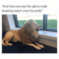 "Snoop Dogg please narrate this meme (dm for dog credit): ""And here we see the alpha male  keeping watch over his pride"" Snoop Dogg please narrate this meme (dm for dog credit)"